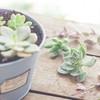 多肉植物のおすすめって?種類に合わせた育てるコツや増やし方の方法もご紹介