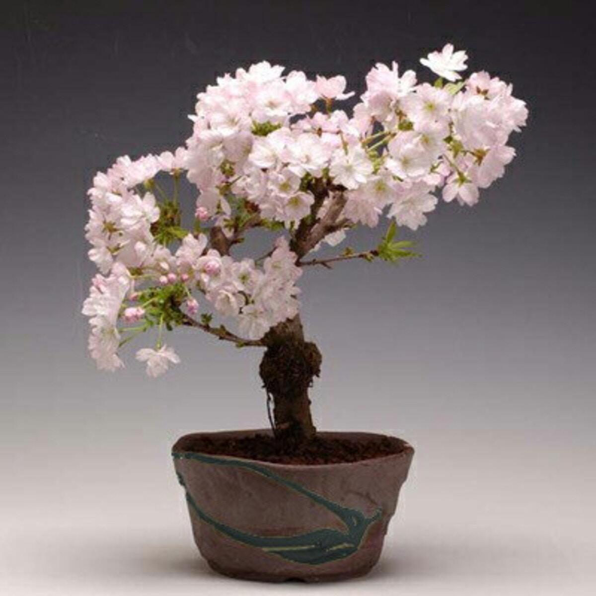 桜盆栽:八重桜(瀬戸鉢)
