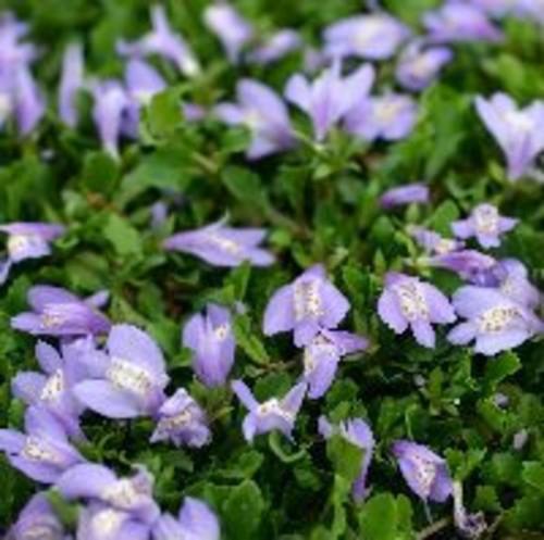 サギゴケ(紫)